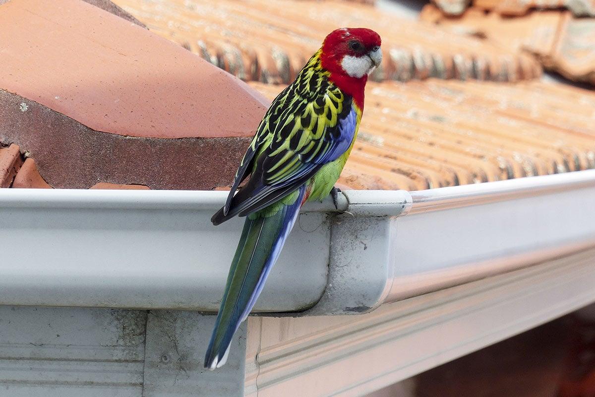 Bird Sitting on Sydney Home Roof Gutter